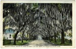 Benachi Avenue Arched by Moss Covered Live Oak Trees